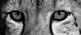 Cheetah-Eyes