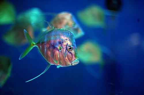 File:Lookdown Fish.jpg