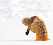 Foxling