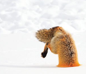 File:Foxling.png