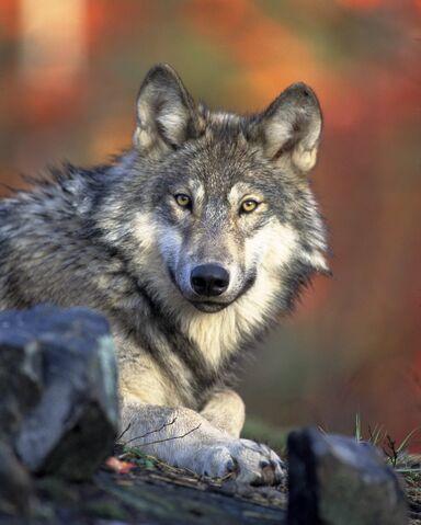 File:Gray wolf4.jpg