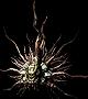 Sunlight Maggot