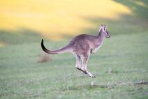 Känguru hüpft über Wiese