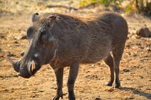 Warthog-1401822