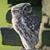 Malfoy's owl