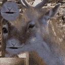 MpCJ Deer1 A