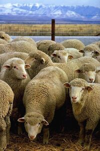 399px-Flock of sheep