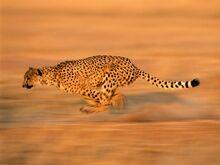 Photos-of-cheetah-457