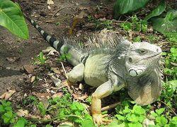 Iguana iguana colombia3