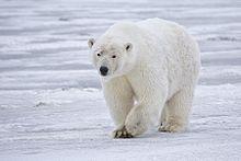 220px-Polar Bear - Alaska