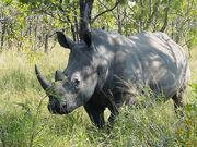 Ceratotherium simum Kruger Park 02