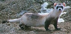 250px-Black footed ferret cropped