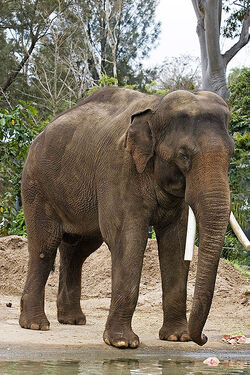 Asian elephant - melbourne zoo
