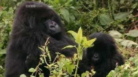 Gorillas With David Attenborough (BBC)