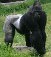 Male gorilla in SF zoo