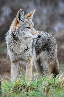 220px-Coyote by Rebecca Richardson