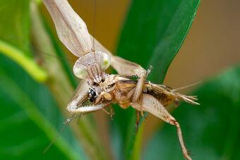 Praying Mantis Deadliest Beasts Wiki Fandom