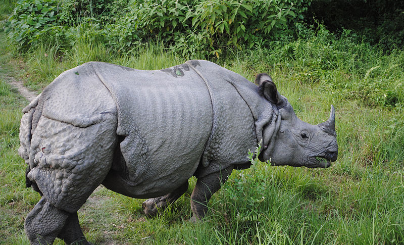 Indian rhinoceros animal once inhabited many areas ranging from Pakistan to Myanmar and maybe even parts of China