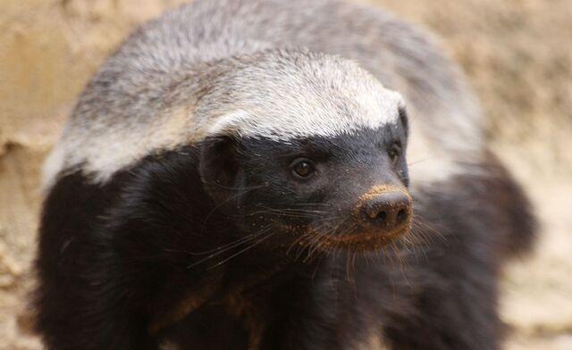 File:Honey Badger Looking 001.jpg