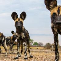 African Wild Dog Deadliest Beasts Wiki Fandom
