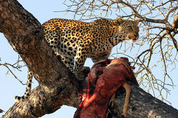 Panthera pardus -Ngala Game Reserve, Limpopo, South Africa -with kill in tree-8