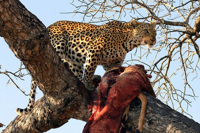 File:Panthera pardus -Ngala Game Reserve, Limpopo, South Africa -with kill in tree-8.jpg
