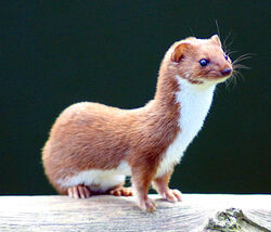 Mustela nivalis -British Wildlife Centre-4
