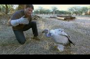 Steve Backshall With a Cape Griffon Vulture