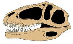 Giganotosaurus skull