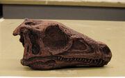 Eoraptor skull
