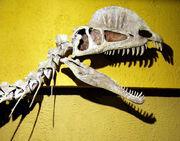 Dilopho skull