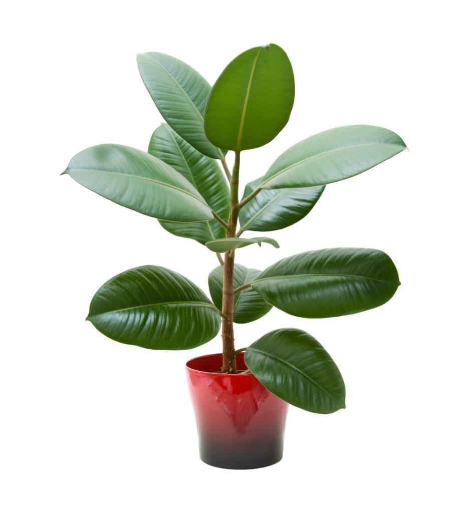 image rubber plant 936x1024 jpg death battle wiki fandom