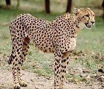Cheetah animagus