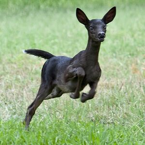 Ivy Bell in doe form