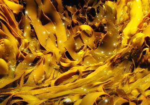 Kelp In Freycinet Tasmania