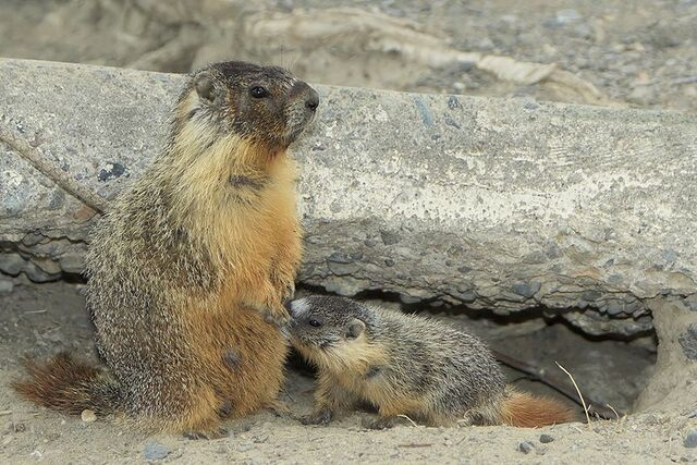 File:800px-Young Yellow-bellied Marmot suckling.jpg