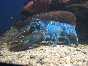 Blue-lobster