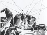 Mutie crab