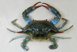 The Childrens Museum of Indianapolis - Atlantic blue crab