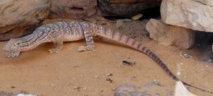 Desert monitor Varanus griseus, Knockout Mouse-Wikipedia