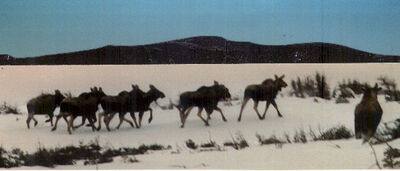 Moose herd winter