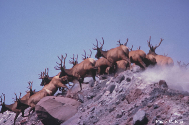 File:Elk herd.png