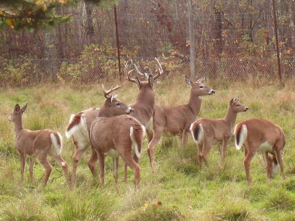 File:Deer herd.jpg