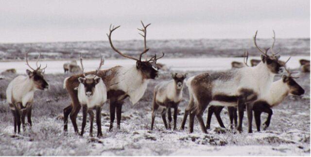 File:Caribou herd.jpg