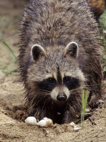 File:Raccoon thingy.jpg
