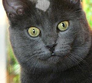 Gray-cat2