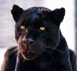 BlackJaguar big