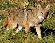Coyote eastern 380
