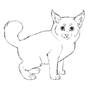 Chaton - American bobtail