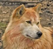 WolfRuu